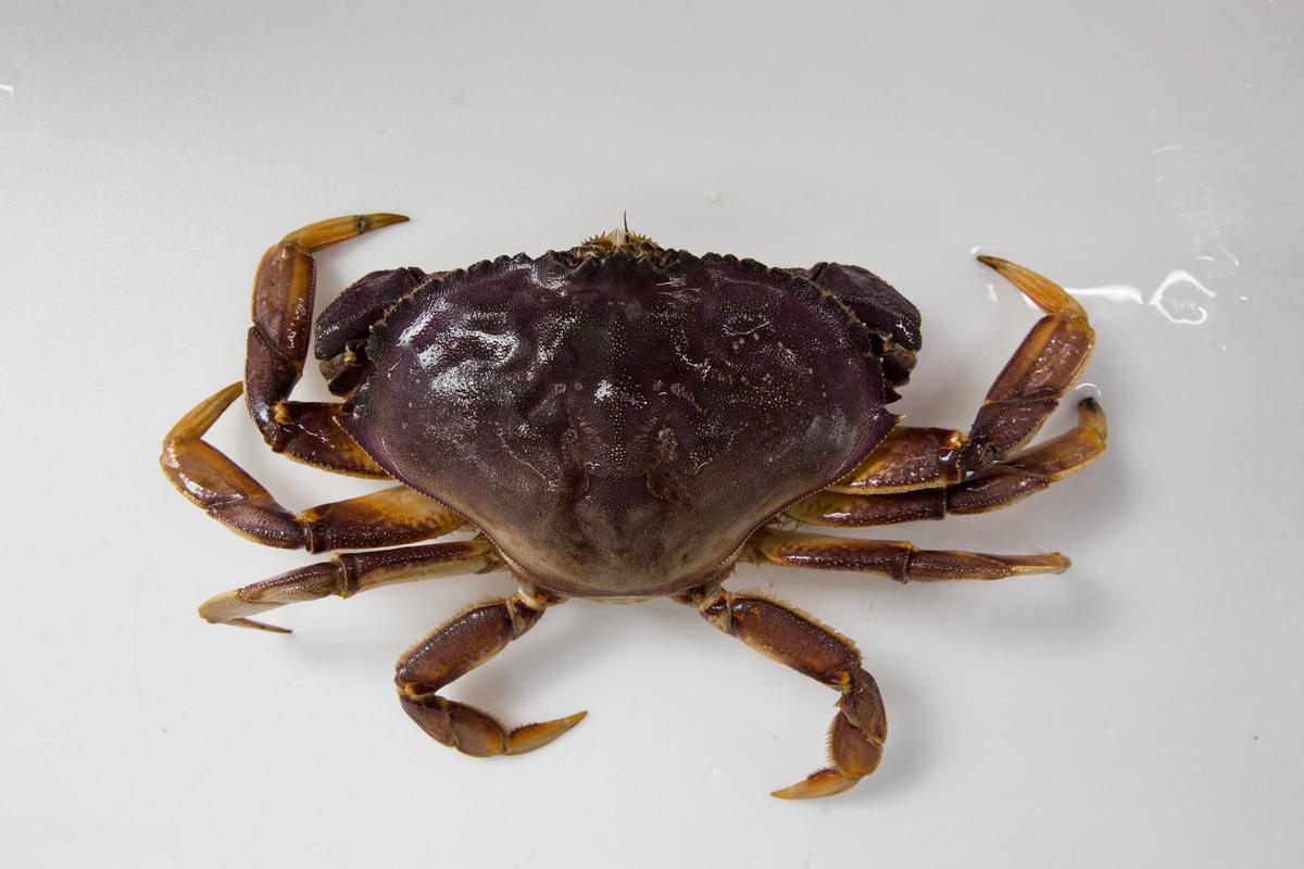 「加拿大野生黃金蟹」肉質細緻鮮甜,腳肉完整紮實。(900~1000元/1公斤; 圖示約為700~900元)