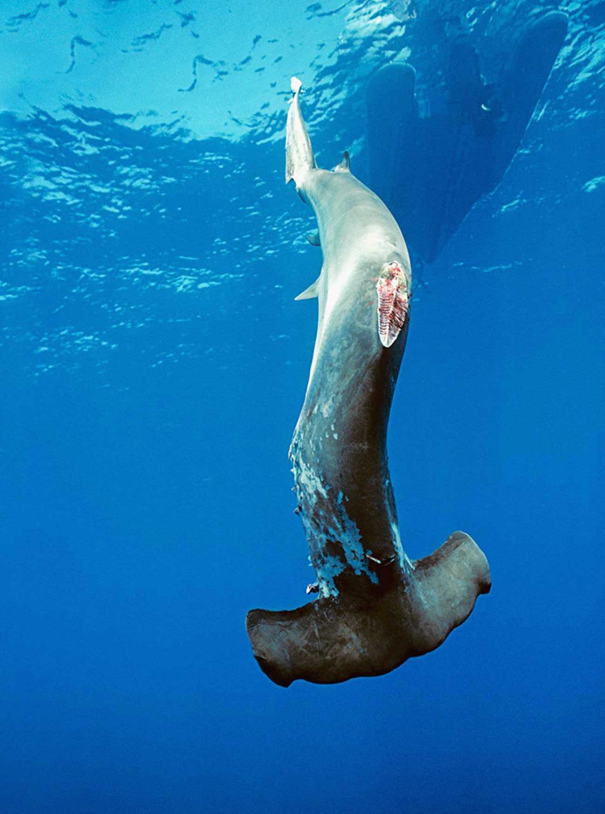 漁民在割下鯊魚魚鰭後,常把鯊魚扔回海裡,任由鯊魚慢慢淹死。(截自WildAid)