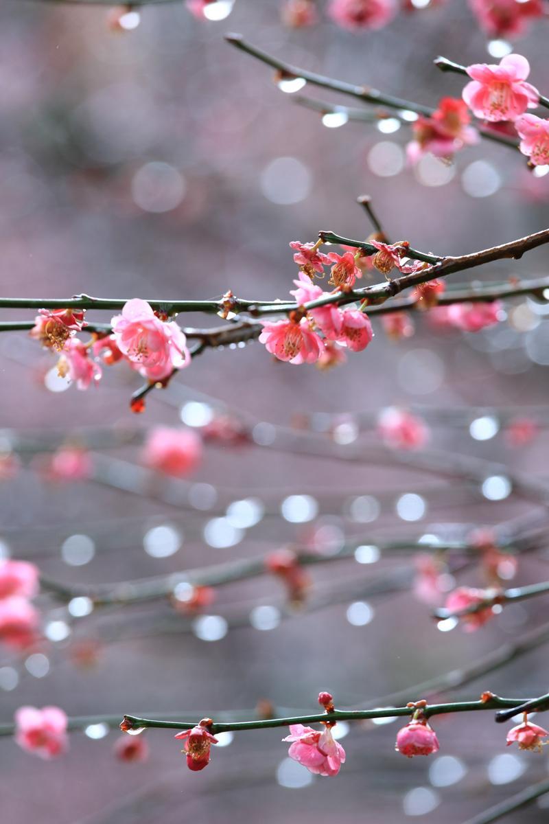 即便是下雨天的梅花,拍照起來也有一番情趣。