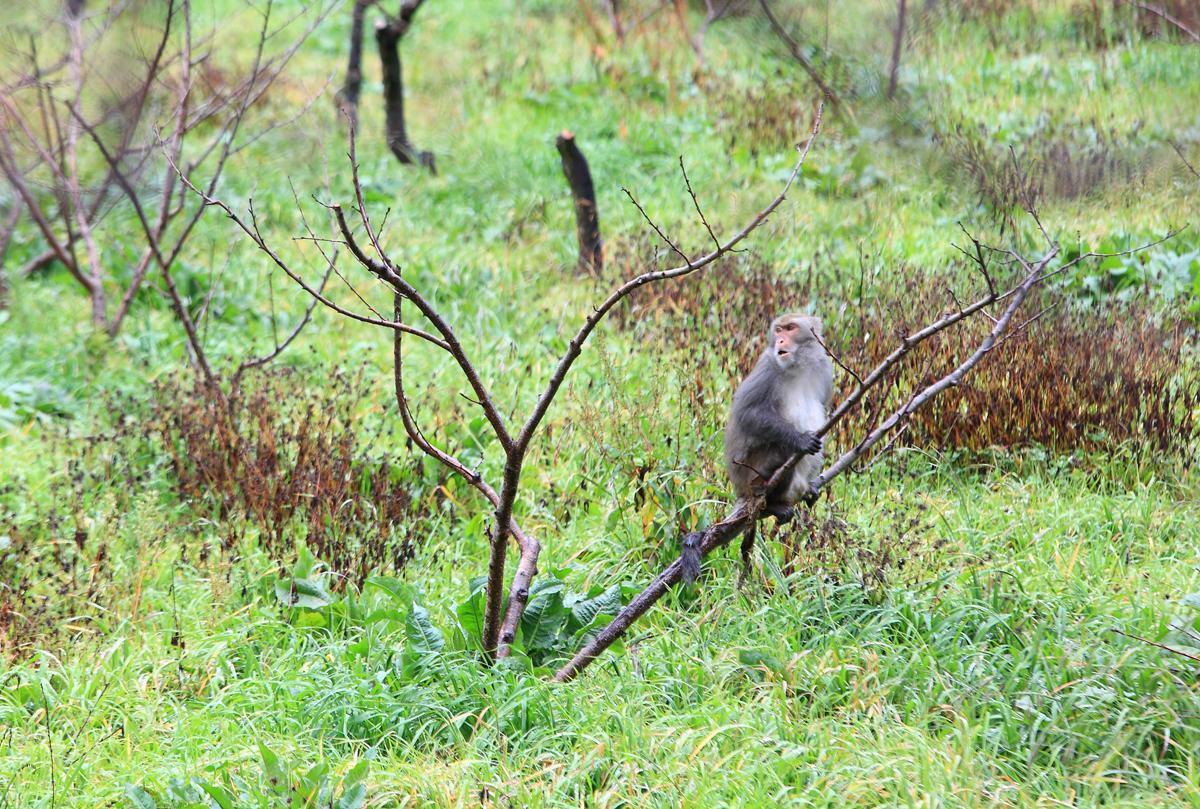 在靠近雪霸登山口附近的桃子果園,有機會遇上正在覓食的獼猴。