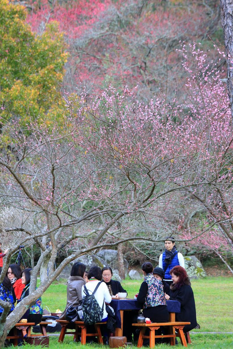 坐在梅花樹下一邊開茶話會,一邊享受冬日陽光的沐浴,真是冬季賞梅一大樂事。