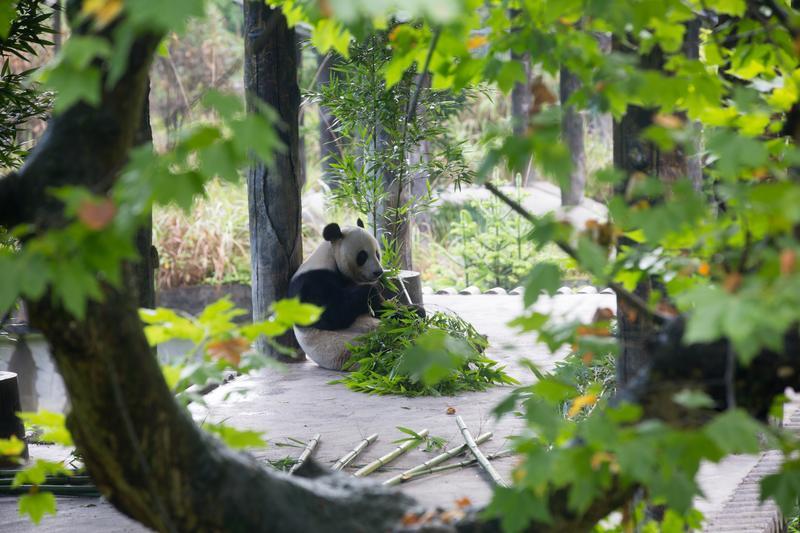 到四川看熊貓是要緊的事