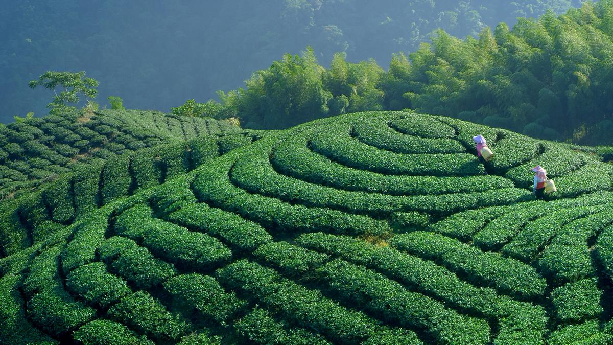 《美力台灣3D》利用3D鏡頭記錄台灣美麗的陸上風景,圖為八卦山茶園。(牽猴子提供)