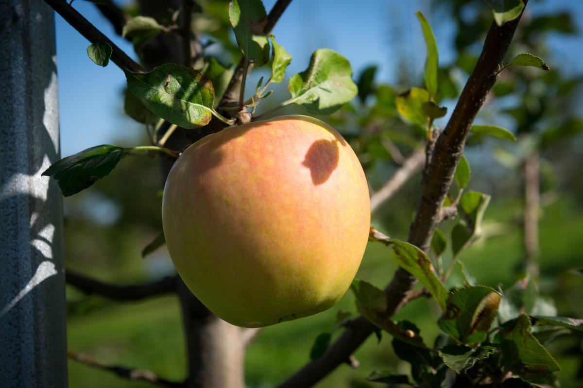 台灣稱為「水蜜桃蘋果」的「土岐」,酸度較低,甜香撲鼻。