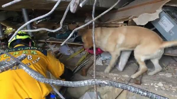 搜救犬「鐵雄」配合生命探測雷達,在現場內來回搜尋。(消防局提供)